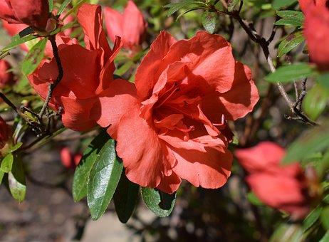Orange Azalea, Azalea, Flower, Blossom, Bloom, Shrub