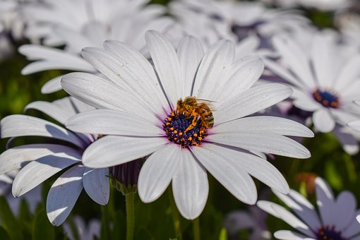 African Daisy, Bee, Nature, Flower, Plant, Insect