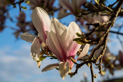 Magnolia, Blossom, Tree, Spring, Garden, Flower, Nature