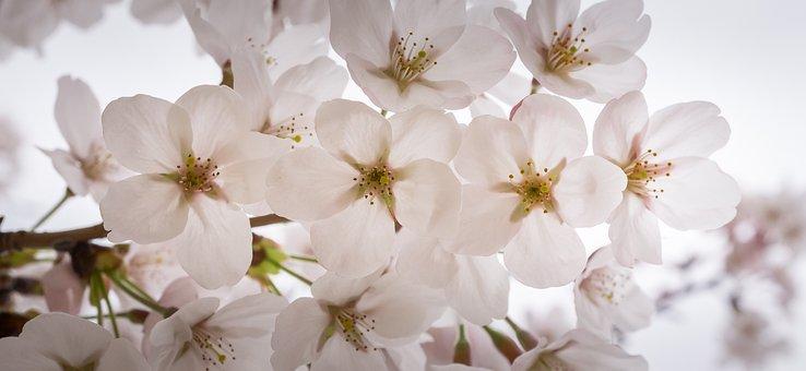 Cherry Blossom, Spring, Wood, Nature, Flower Tree