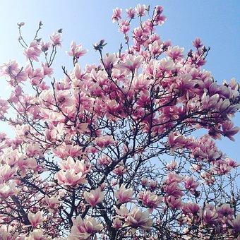 Magnolia, Spring, Flowers, Flower, Petals, Bloom, Rosa