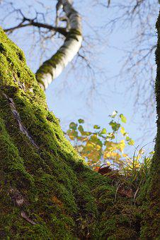 Tree, Moss, Blue Sky, Blue, Nature, Forest, Green
