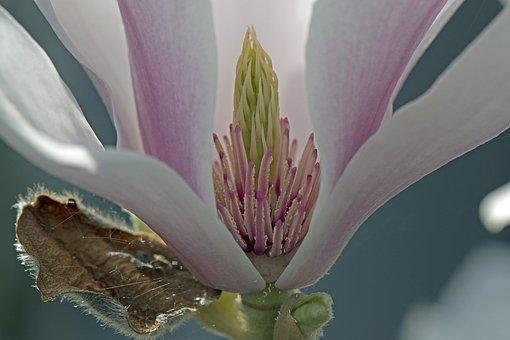 Magnolia, Blossom, Bloom, Insight