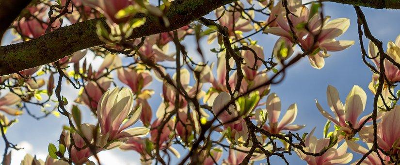 Magnolia, Tree, Blossom, Flower, Spring, Bloom, Nature