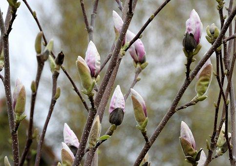 Magnolia, Blossom, Bloom, Spring, Bud