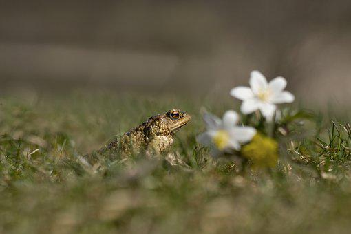 Frog, Toad, Male, Spring, Nature, Amphibian, Green