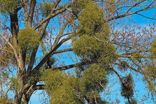 Tree, Mistletoe, Make The Most Of, Spring, Parasite