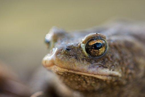 Frog, Toad, Nature, Amphibians, Aquatic Animal, Animal