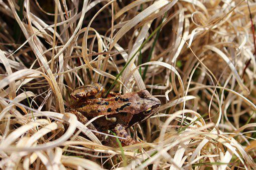 Frog, Animal, Amphibian, Macro, Nature, Moorland