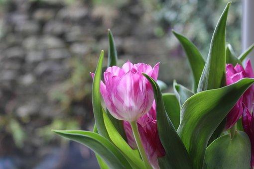 Tulip, Flower, Pink, Bulb, Spring, Nature, Floral