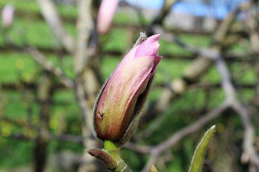 Magnolia Bud, Magnolia, Pink Magnolia, Heaven Scent