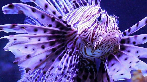 Fish, Red Fire Fish, Toxic, Underwater, Show Aquarium