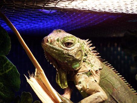 Iguana, Reptile, Captivity