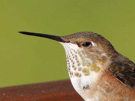 Hummingbird, Feathered, Shimmering, Resting, Wildlife