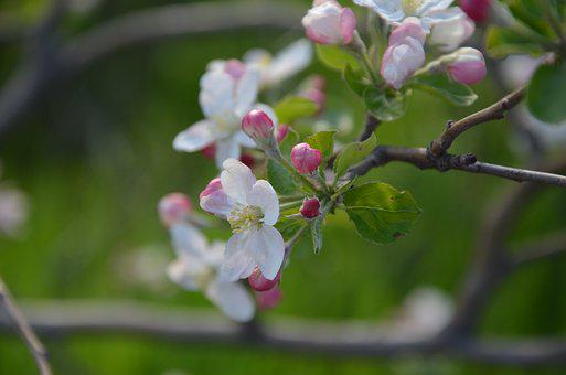 Spring, Blossom, Nature, Bloom, Blooming, Season, Plant