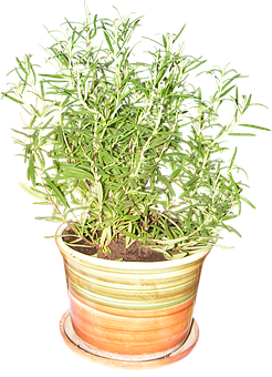 Rosemary, Plant, Fresh, Spice, Flower Pot, The Stem