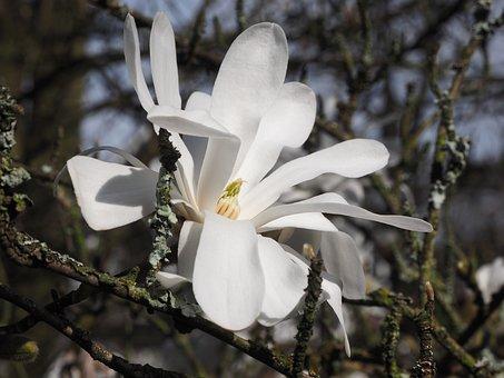 Magnolia, White, Spring, Branch, Magnoliengewaechs
