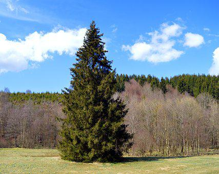 Spruce, Conifer, Forest, Nature, Tree, Pine Cones, Tap