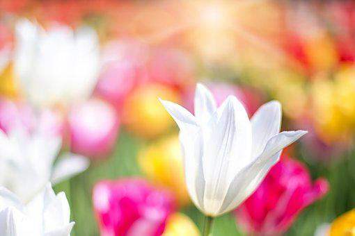 Tulips, Pink, Garden, Spring, Flowers, Floral, Nature