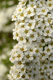 Flora, Bush, Flower, Blossom, Spring, White, Nature