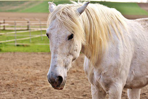 Mold, Horse, Coupling, Pasture, White, Animal, Nature