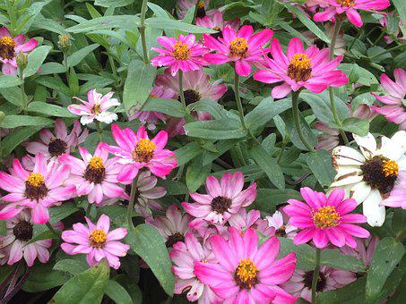 Flowers, Pink, White, Pink Flowers, Floral, Plant
