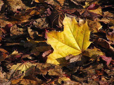 Maple Leaf, Autumn, Yellow, Yellow Sheet, Fall Foliage