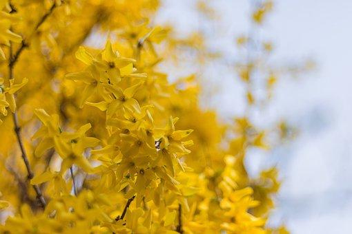 Bush, Yellow Shrub, Yellow, Nature, Spring, Blossom