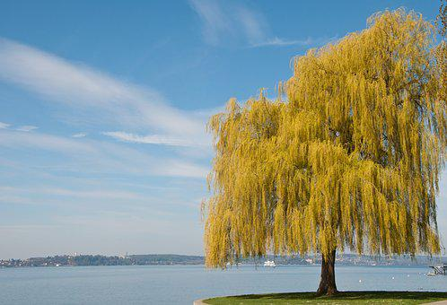 Lake Constance, Spring, Tree, Plant, Yellow, Blossom