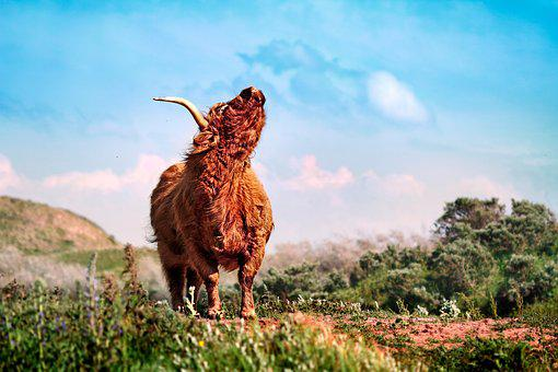 Beef, Buffalo, Bison, Wisent, Cows, Cattle, Bull, Cow