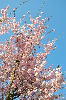 Almond Blossom, Aesthetic, Flowers, Pink, Blue