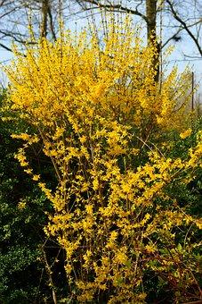 Flowers, Yellow, Yellow Flowers, Forsythia, Close