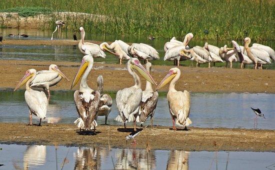 Bird, Pelican, Ornithology, Wildlife, Nature