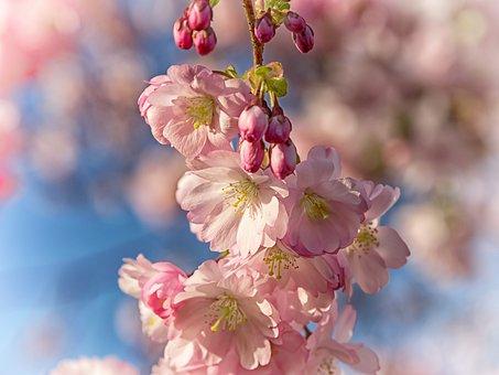 Spring, Cherry Blossom, Bloom, Pink