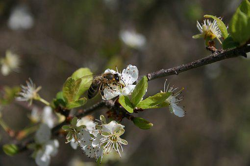 Spring, Bee, Insect, Flower, Nature, Garden, Honey