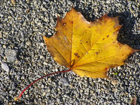Leaf, Maple, Close, Detail, Nature, Yellow, Autumn
