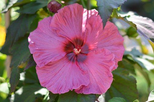 Hibiscus, Pink, Flower, Botanical, Colorful, Natural