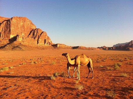 Desert, Camel, Jordan, Dromedary