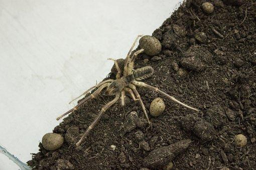 Spider, Paukoobraznoe, Solifuge, Phalanx, Camel Spider