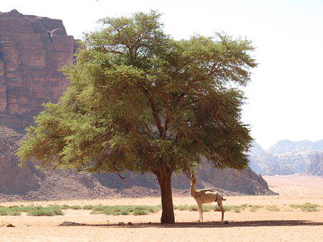 Jordan, Desert, Nature, Tree, Camel, Food, Leaves