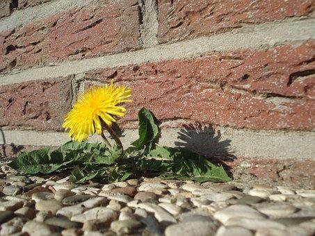 Dandelion, Flower, Roadside, Plant