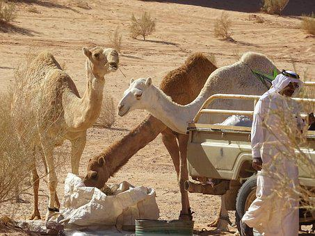 Camel, Jordan, Desert