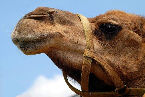 Camel, Face, Close Up, Head, Animal, Nature, Desert