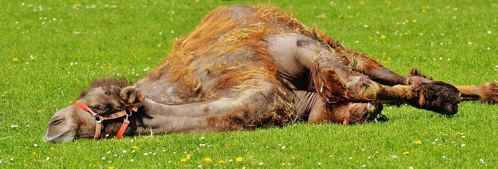 Camel, Relax, Lazing Around, Sun, Meadow, Peaceful