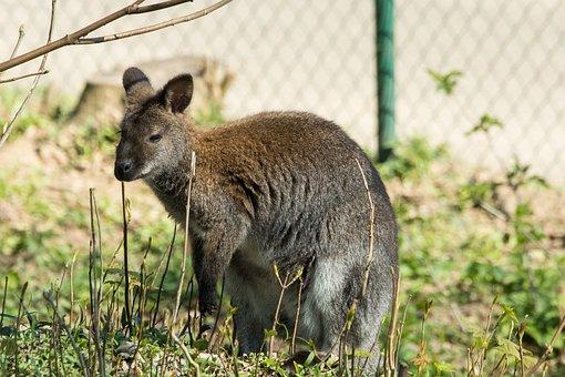Kangaroo, Zoo, Animal