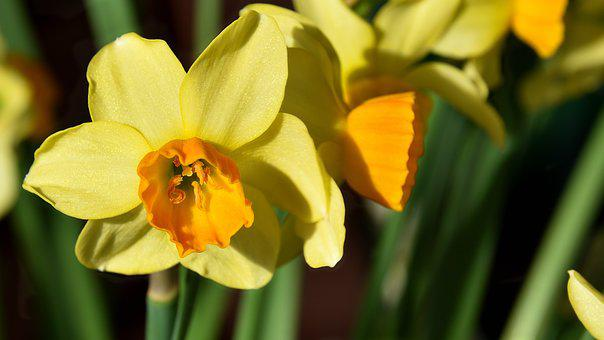Narcissus, Flower, Blossom, Bloom, Osterglocken, Yellow