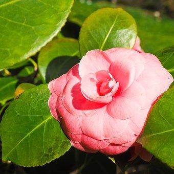 Rose, Flower, Red Roses, Pink Rose, Blossom, Bloom