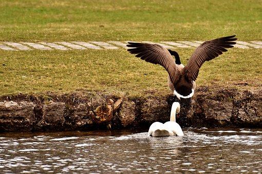 Swan, Goose, Chase, Expel, Revier Fight, Swim, Bird