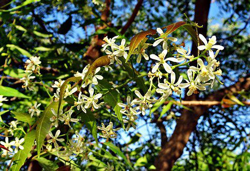 Flower, Neem, Azadirachta Indica, Nimtree, Indian Lilac