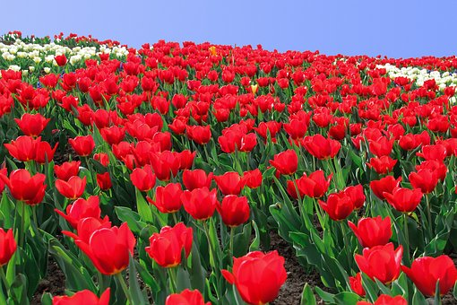 Tulip, Tulip Sea, Flowers, Flower Bed, Tulip Field
